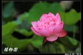 荷花-植物園:IMG_8013.jpg