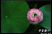 荷花-榮富國小:IMG_8746.jpg