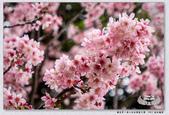 202003櫻花賞。林口社區運動公園:_3060160.jpg