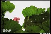 荷花-植物園:IMG_8042.jpg