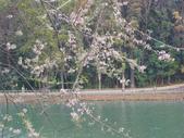 833澄清湖櫻花祭:P3183001.JPG