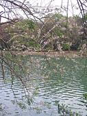 833澄清湖櫻花祭:P3183003.JPG