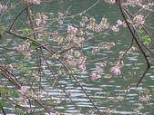833澄清湖櫻花祭:P3183004.JPG