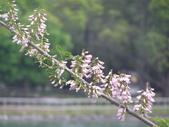 833澄清湖櫻花祭:P3183005.JPG