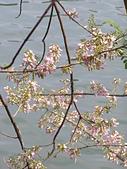 833澄清湖櫻花祭:P3183007.JPG