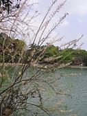 833澄清湖櫻花祭:P3183008.JPG