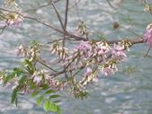833澄清湖櫻花祭:P3183011.JPG