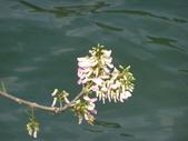 833澄清湖櫻花祭:P3183014.JPG