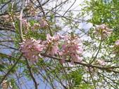 833澄清湖櫻花祭:P3183016.JPG