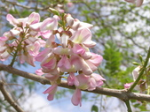 833澄清湖櫻花祭:P3183017.JPG