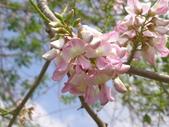 833澄清湖櫻花祭:P3183018.JPG