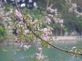 833澄清湖櫻花祭:P3182999.JPG
