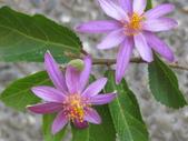 植物-水木蓮:IMG_0175.JPG