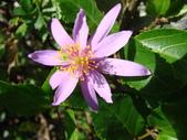 植物-水木蓮:DSC04920.JPG