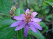 植物-水木蓮:DSC04907.JPG