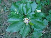 植物-水木蓮:DSC04915.JPG