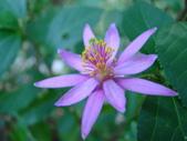 植物-水木蓮:DSC04917.JPG