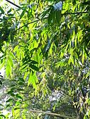 991212冬季一個人亂亂走之龍潭&石門水庫:40CM以上的竹葉