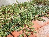 990327~28台南二日遊:鹽田邊的植物~葉子很肥厚