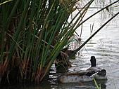 991109芭小附近的水塘戶外教學:埃及沙草下的綠頭鴨