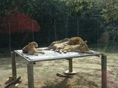 1011115好久不見~六福村:獅子