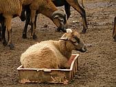 990409大溪10新竹:霸道羊佔住盆子