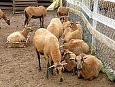 990409大溪10新竹:黑肚綿羊