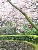 990313淡水天元宮賞櫻:風一吹來,花瓣飄落,美極了