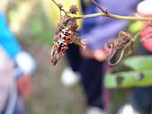 991109芭小附近的水塘戶外教學:交配中的瓢蟲