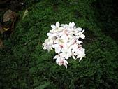 1010422龍潭小粗坑賞桐花:落在青苔上有種美