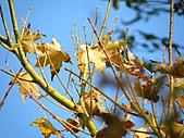 991212冬季一個人亂亂走之龍潭&石門水庫:金黃色的葉片很顯眼
