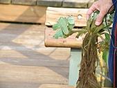 991109芭小附近的水塘戶外教學:根很長的大萍是採無性生殖