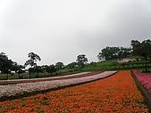 990409大溪10新竹:大溪花海的彩色非洲鳳仙花