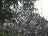 1020119寒假第一天~北橫趴趴走:角板山梅園之梅花