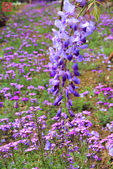 淡水紫藤咖啡園(2):IMG_6941.JPG