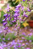 淡水紫藤咖啡園(2):IMG_6979.JPG