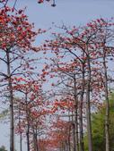 2012-03-22台南市 東豐路 木棉花:2012-03-22東豐路 木棉花 008.JPG