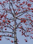2012-03-22台南市 東豐路 木棉花:2012-03-22東豐路 木棉花 009.JPG