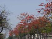2012-03-22台南市 東豐路 木棉花:2012-03-22東豐路 木棉花 002.JPG