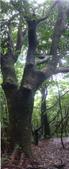 七星山的泥土步道100.11.29.~101.1.3.下午:怪樹.jpg
