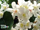 風景照片:更美的油桐花送給你.jpg