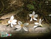 風景照片:更美的油桐花送給你 (3).jpg