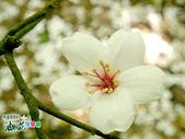 風景照片:更美的油桐花送給你 (4).jpg