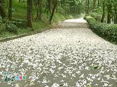 風景照片:更美的油桐花送給你 (2).jpg