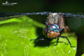 雨後蜻蜓 :791B7065.jpg