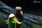 雨後蜻蜓 :791B7109.jpg