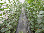 溫室栽培網狀洋香瓜農試所實驗區:DSCN1127.JPG