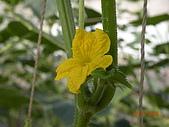 小黃瓜合理化施肥田間成果觀摩會:20090630觀摩會 002.jpg