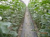 溫室栽培網狀洋香瓜農試所實驗區:DSCN1123.JPG