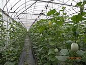 溫室栽培網狀洋香瓜農試所實驗區:DSCN1128.JPG